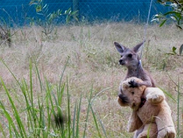 El tierno canguro llamado 'Doodlebug' abrazado a un oso de peluche. Foto:Twitter.