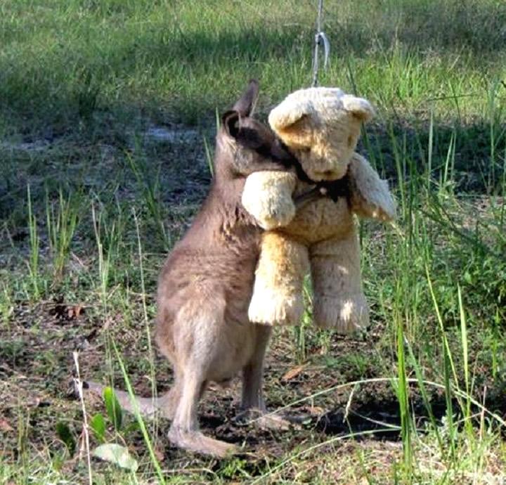 Dosis de ternura: canguro bebé abrazado a un oso de peluche