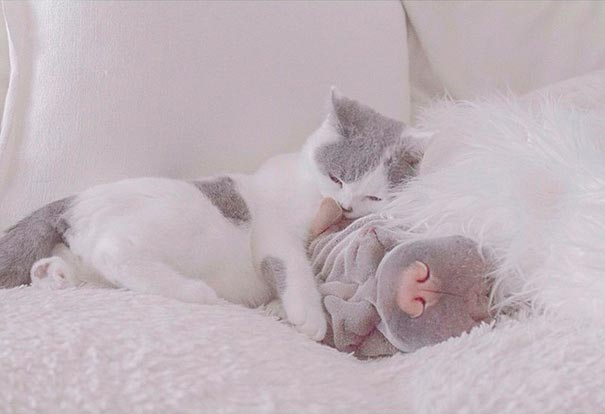La bella amistad de un Shar Pei y un gato muy fotogénicos