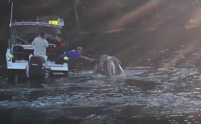 os pescadores ayudaron a una ballena que tenía plástico atorado en la boca. Imagen:Youtube