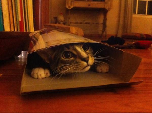 Por qué a los gatos les gustan tanto las cajas