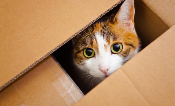 Los gatos se sienten seguros y cálidos cuando están en una caja de cartón. Créditos: Shutterstock.