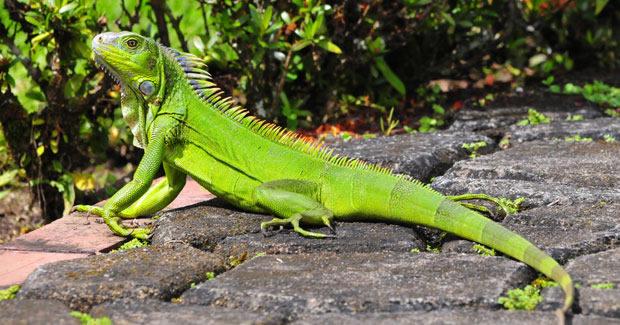 Iguana moderna. Foto:Intenet.