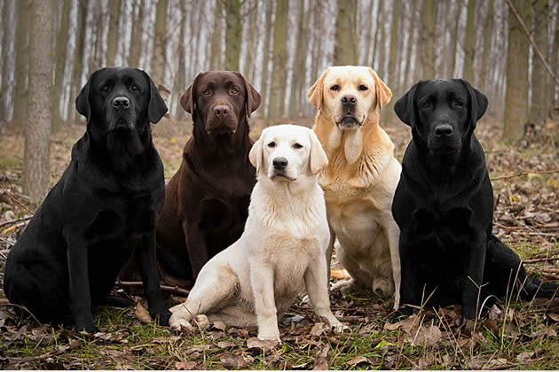 Labradores retriever de diferentes colores. Foto:Internet.