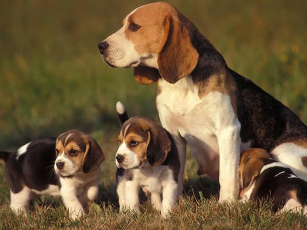 Los beagle son una raza de perros de tamaño pequeño, con patas cortas y orejas  largas y suaves. Foto:Internet.