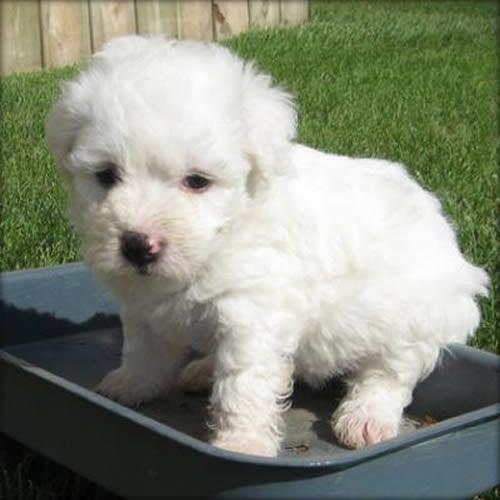 perro-bichon-frise