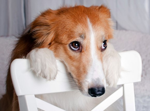 perro-culpable-3