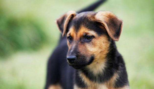 Los perros mestizos o de razas mixtas no son susceptibles a enfermedades hereditarias por lo cual tienden a enfermarse poco.
