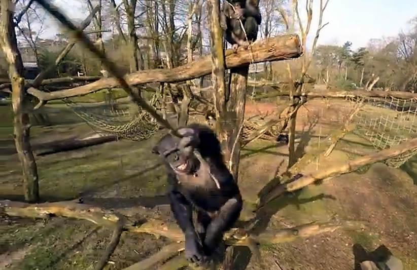Preciso momento en que el chimpance utilizando una rama derriba el drone.