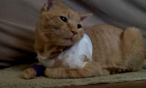 La bala perdida atravesó el costado de la cabeza de Opie y la parte inferior de su cuello para finalmente salir por la axila. El gato tiene ahora un tubo de drenaje, pero se espera que mejore. Créditos: Captura Youtube/Fox 43.