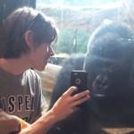 Gorila interesado en selfies.Créditos:Jukin