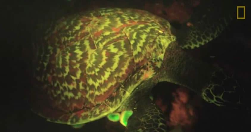 Esta tortuga es fluorescente, y los científicos no están seguros de por qué