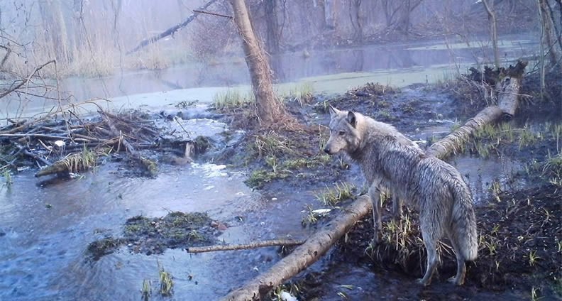 Lobo gris europeo